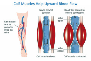 Blood Flow in Leg Veins